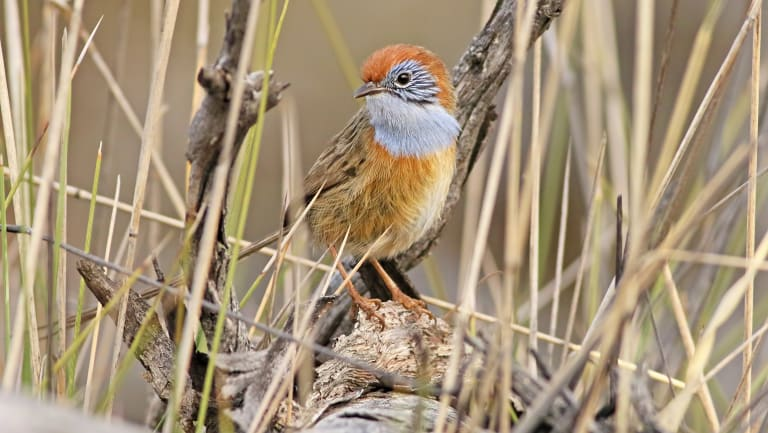 A Mallee emu-wren. Tiny and very angry.
