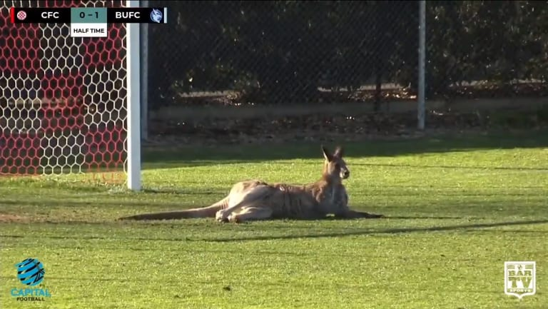The kangaroo took up space in front of goals at Deakin Stadium.