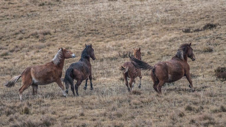 Wild brumbies in the Kiandra high country, in the Kosciuszko National Park.