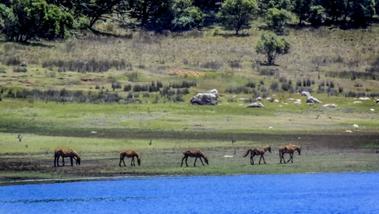 Wild brumbies in the Tantangara Lake area in January 2016. Icon Water had a contract with Snowy Hydro that allowed the ACT to access this water as a last resort.