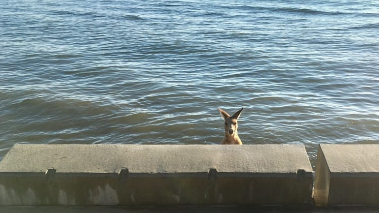 Spotted floating off the Sandgate seawall, the roo needed a bit of help to extricate itself.