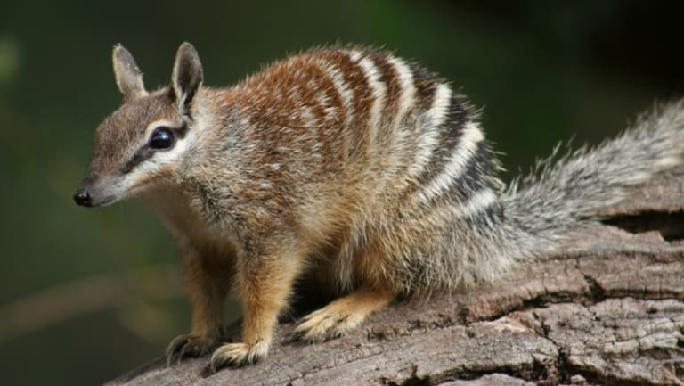 There are less than 1000 numbats left in the wild. The species is threatened by loss of habitat and feral predators.
