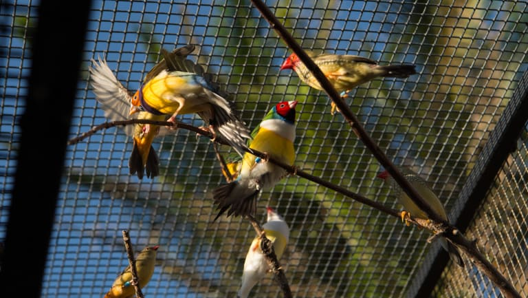 The Portelli family aviary is filled with brightly-coloured finches.