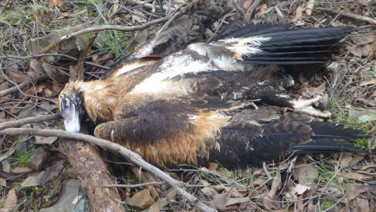 A wedge-tailed eagle is found shot and dumped in Black Range State Forest, near three other dead birds, in 2017.