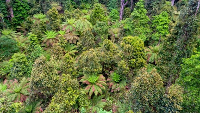 Rainforest in East Gippsland.