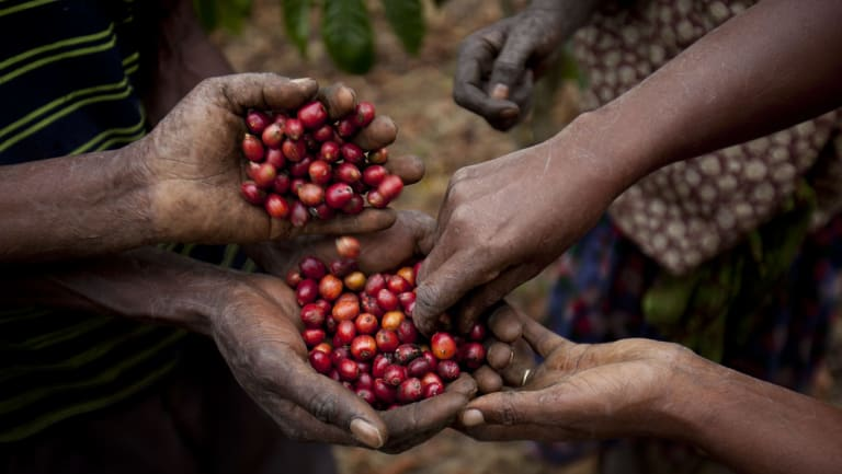 Fresh coffee berries are collected on a large scale plantation.