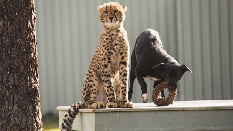 Solo and Zama's unlikely friendship initially turned some heads when they were unveiled at the Canberra Zoo earlier this year.