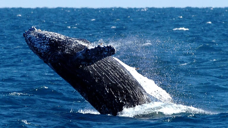 Humpback whales look set to reach their pre-whaling numbers by 2050, a Queensland researcher says.