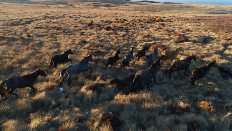 Brumbies in the grasslands near Kiandra in the Snowy Mountains.