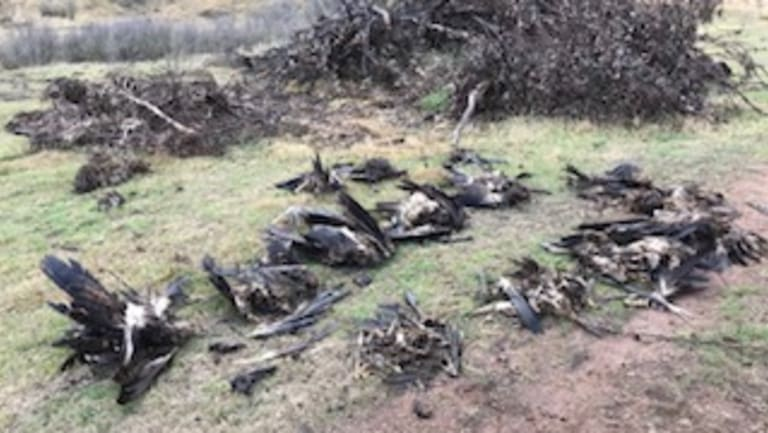 Piles of dead eagles were found hidden on a farm in Tubbut in far East Gippsland, along with the carcasses of four other protected bird species.