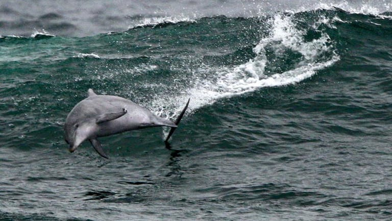 Eight dolphins have been fatally caught in shark nets off northern NSW in a little over a year.