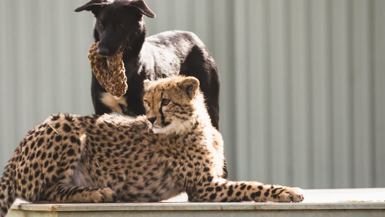 The unlikely pair, Solo and Zama, were brought together when they were about a month old and have been inseparable since.