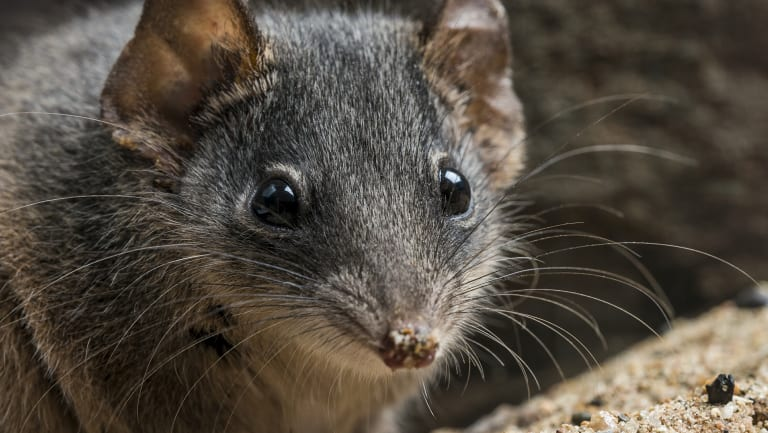Two species of antechinus – the silver-headed and black-tailed antechinus – were added to the threatened species list last week. The small, carnivorous marsupials are best known for their reproductive habits – males die after their once-in-a-lifetime mating frenzy.