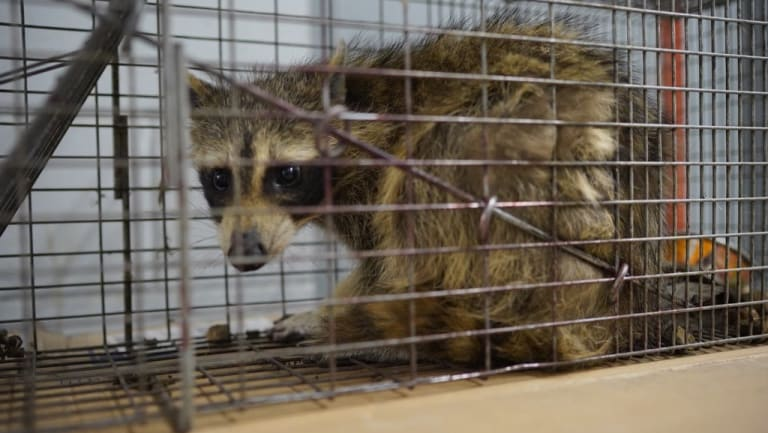 The raccoon that scaled the UBS Plaza building was caught in a live trap baited with cat food overnight in St Paul, Minnesota.