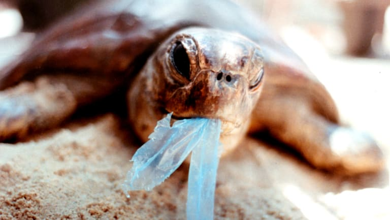 It's believed turtles are attracted to plastic bags because of their likeness to jellyfish.