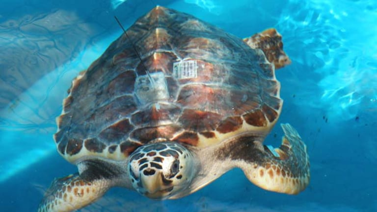 A burst balloon is more dangerous for a turtle than a plastic bottle.