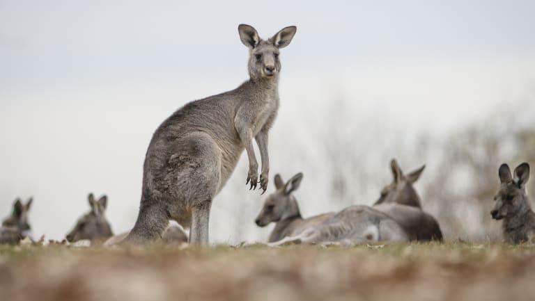 Kangaroos in Yarralumla.