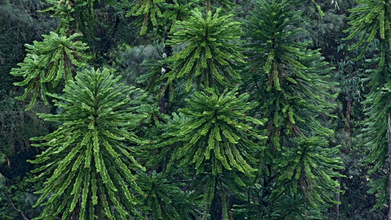 """The Wollemi pine saw its status on the threatened species list downgraded from """"endangered"""" to """"critically endangered"""" due to the introduction of phytophthora disease into its secluded habitat."""