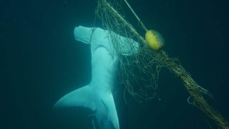 A dead great hammerhead shark found caught in a net near a beach on the Gold Coast.