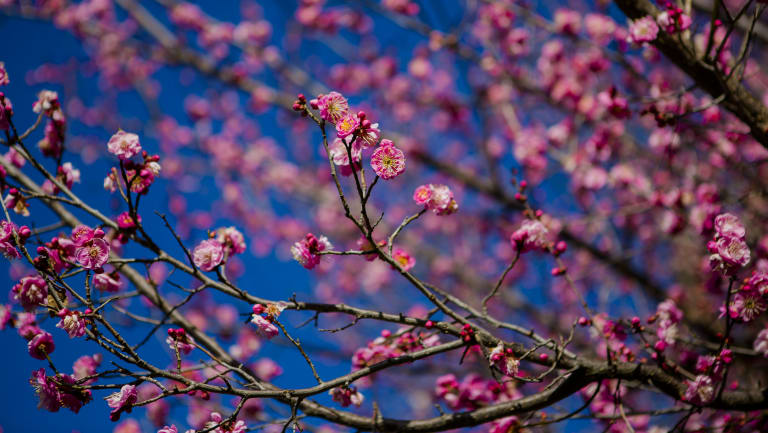 Jackie french flowering fruit trees are winters seductive deceivers flowering fruit trees produce blooms ranging from pure white to shell pink to deep red mightylinksfo