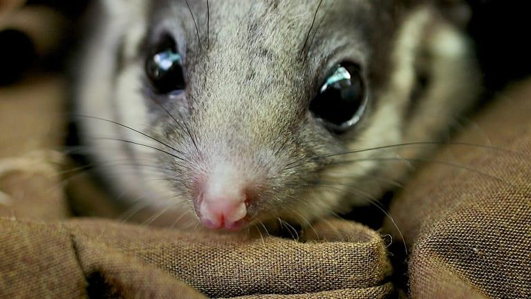 Victoria's fauna emblem, the Leadbeater's possum.