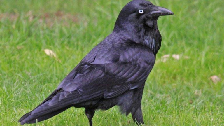 Raven the undertaker of the bush