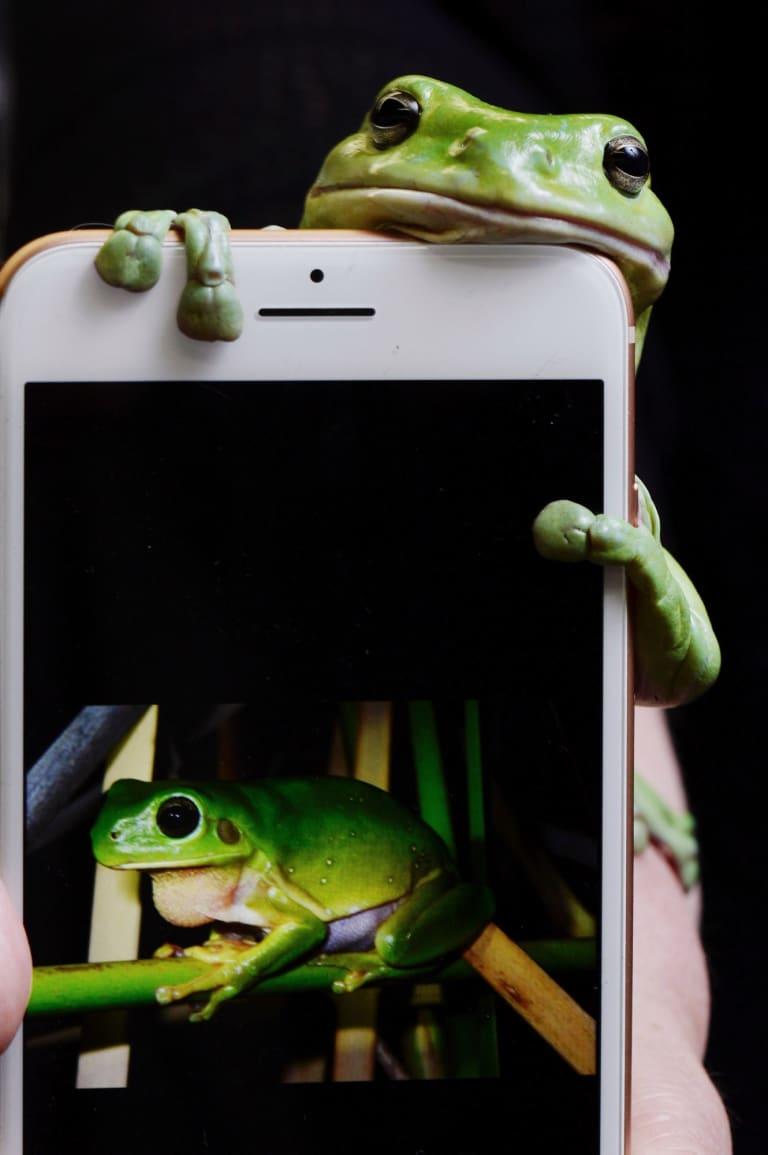 Godzilla, the green tree frog.
