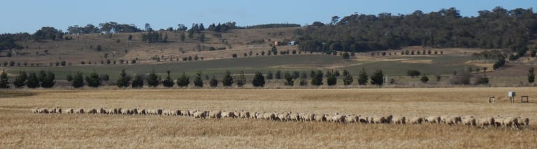 Sheep near Tarago, a reminder of the days when the southern tablelands prospered 'riding on the sheep's back'.