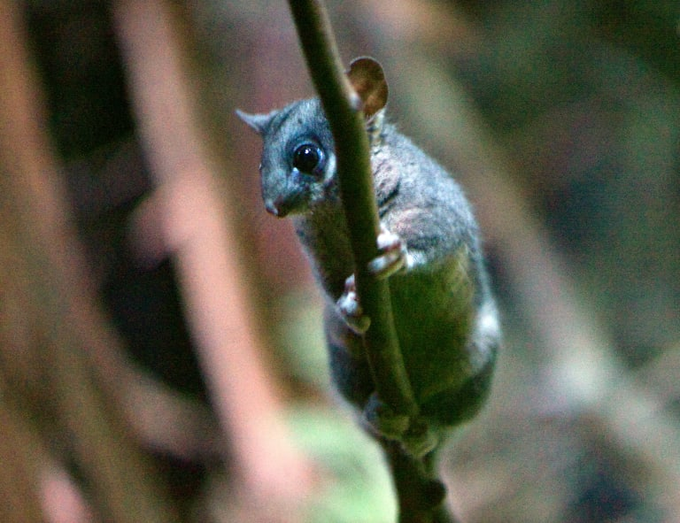 An Australian Conservation Foundation campaigner says species such as the leadbeater's possum are at risk of extinction if habitats aren't protected.