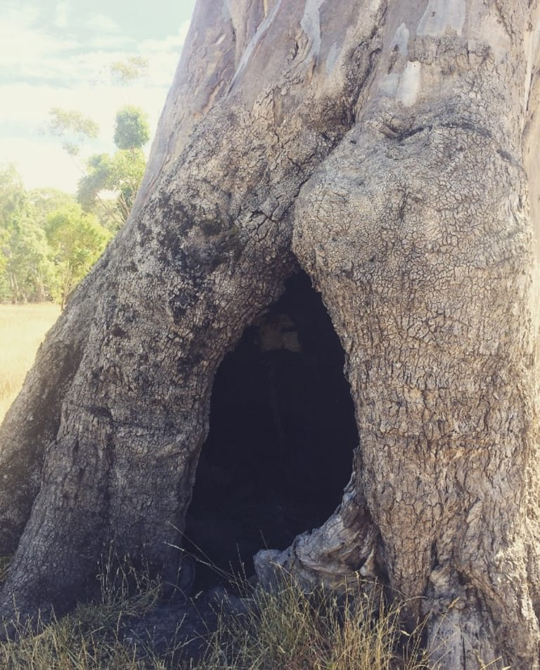 An application has been made to register this tree as a place of sacred Aboriginal women's business.