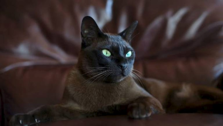 Arthur, a beloved Burmese 4-year-old pet, was allegedly shot on his neighbour's property.