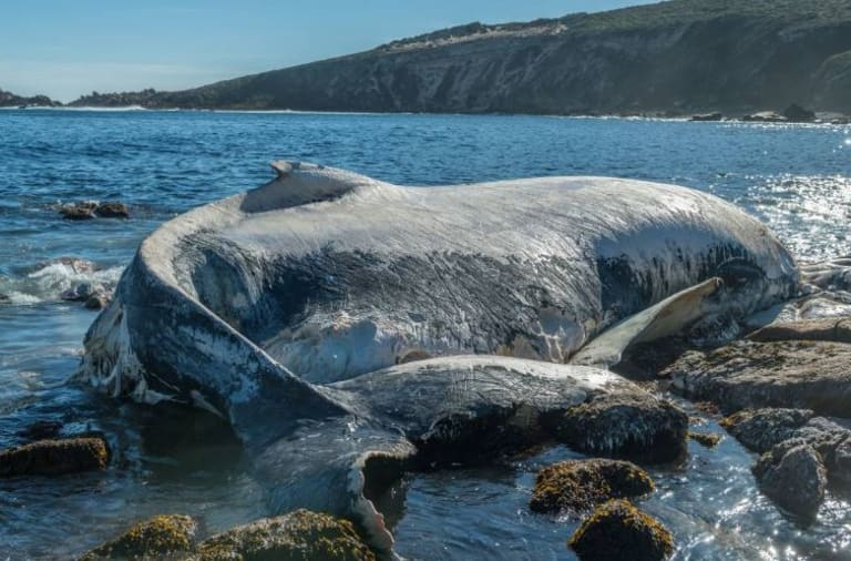 A shark warning has been issued after a whale carcass has washed up on the rocks at Wyadup, near Canal Rocks (top left) in Yallingup.
