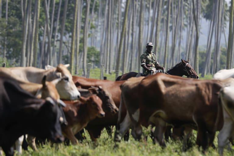 Stockmen herding cattle at the Milai farm.