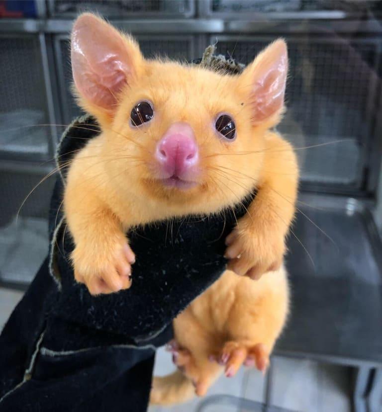 Pikachu the golden possum.