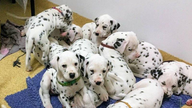 World record litter of Dalmatians born in Ballarat