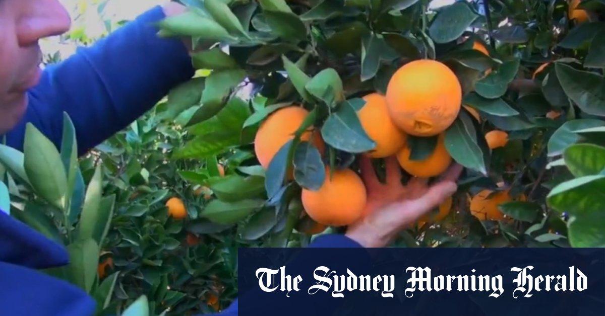Video: Citrus farmers push for Pacific Islands travel bubble