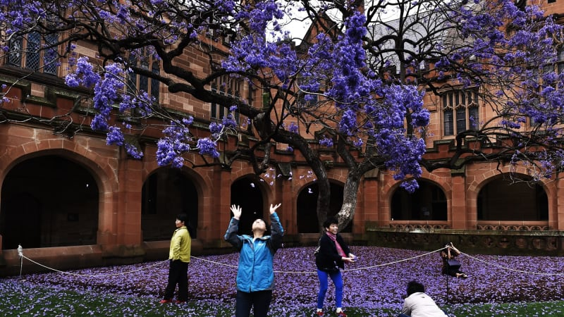 Students past and present mourn University of Sydney's famous jacaranda tree