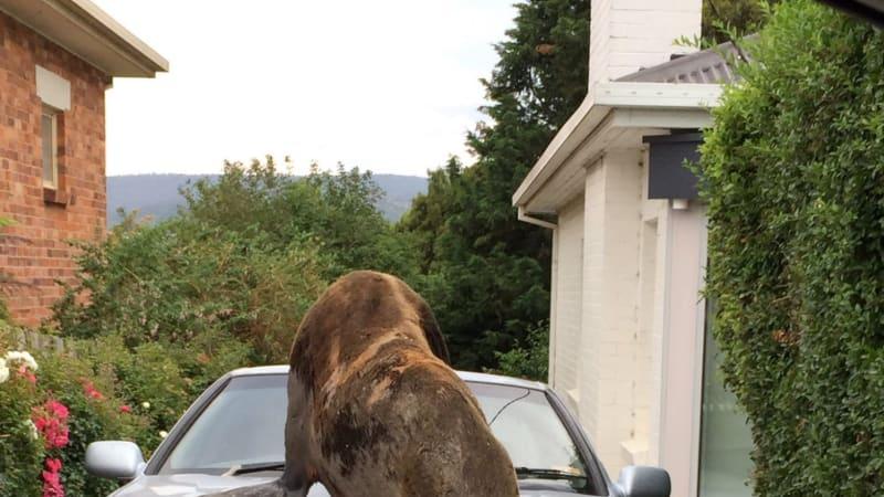 Large fur seal climbs on car, smashes windscreen in Launceston adventure