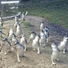 Penguins arrive on Phillip Island