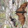 Top 5 native Australian urban animals on the brink