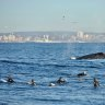'A bit of a show': Surfers share brief moment with migrating whales