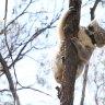 Koalas rescued from bushfires returned to their native habitat