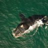 Drones help keep a watchful eye over southern right whales