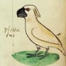 Stone the crows: image of a cocky found in 13th century manuscript