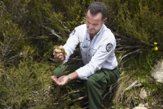ACT parks manager Brett McNamara squeezes sphagnum moss in a bog in Namadgi National Park.