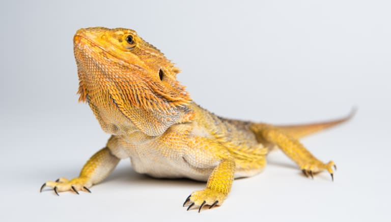 Bif the bearded dragon: a delightfully low-maintenance creature, the writer discovers.