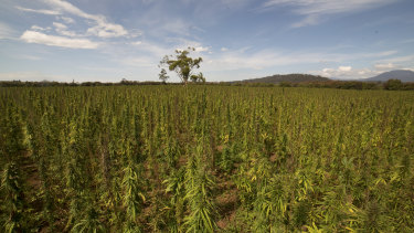 McNiece and Crow predict hemp sales will double annually over the next five years.