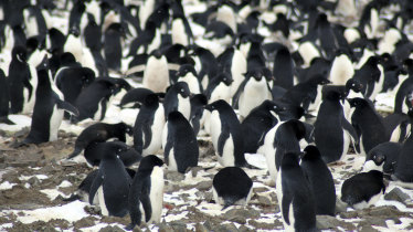 Nesting Adelie penguins, one of two species whose habitats require ice. Satellite images and a drone discovered the supercolony of about 1.5 million Adelie penguins living in the Danger Islands near Antarctica.