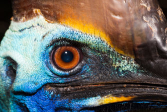 Cassowaries are tall enough to look you right in the eye.