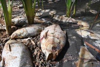 The mass fish kill in the Darling River at Menindee.